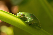 An American Green Treefrog (Hyla cinerea) on a banana leaf in Charleston, SC.