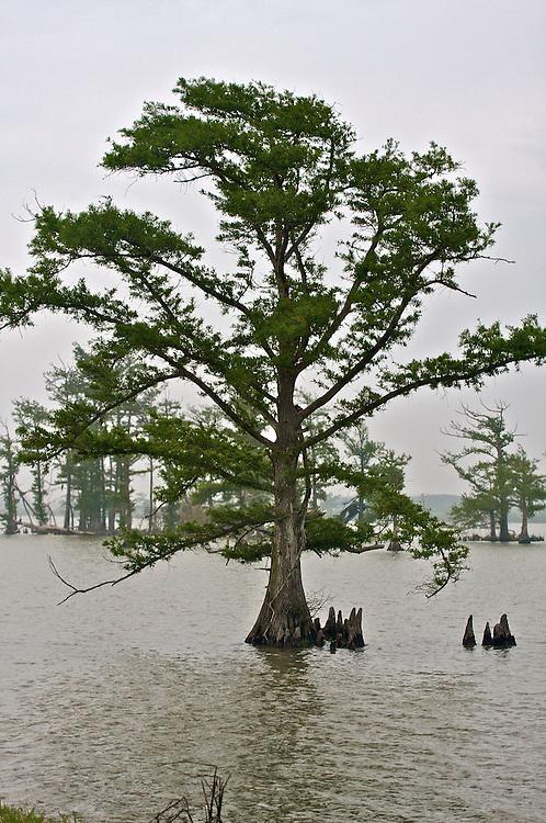 Cypress Tree, Venice, LA