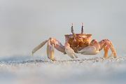 The Galapagos Ghost Crab is easily scared by movements. They seem to have an excellent 360 sight, and runs very fast to hide in there holes in the sand | Vinkekrabben på Galapagos er med sin fantastiske 360 synsvidde, veldig var for den minste bevegelse. Da løper den lynkjapt og gjemmer seg i sine små hull i sanden.