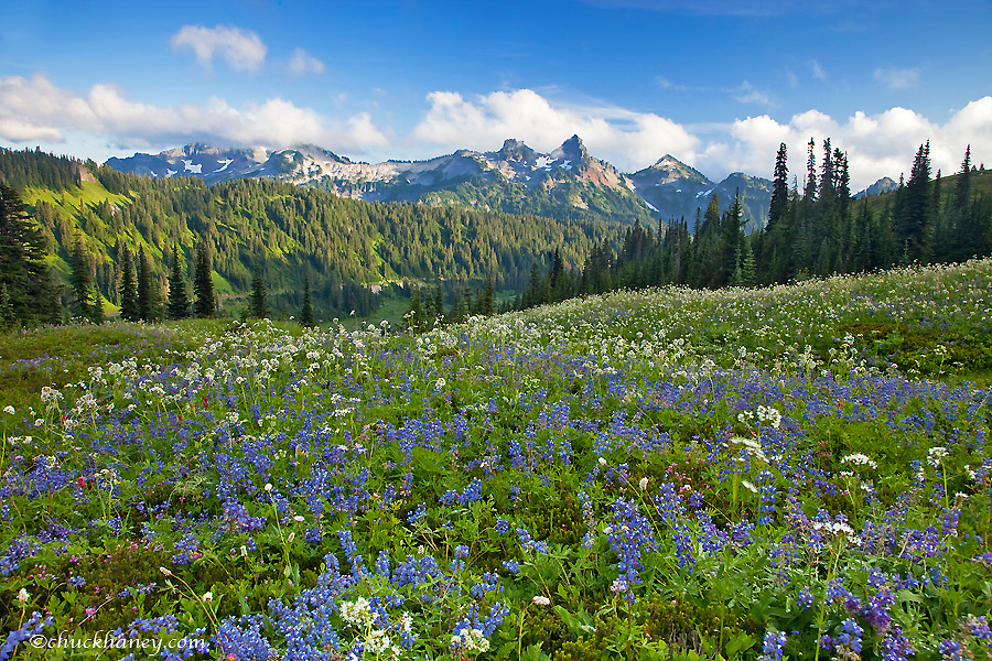 Wildflower meadows at Paradise with Tatoosh Range in background in Mount Rainier National Park in Washington