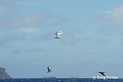 white tern, Gygis alba (top), mutton bird (lower left), and brown noddy (lower right) follow a school of fish, Vava'u, Kingdom of Tonga, South Pacific