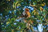 A female proboscis monkey with her twin babies. Proboscis twins are rare..Menanggul River, Lower Kinabatangan Wildlife Sanctuary, Borneo Island.
