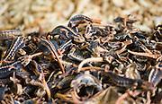 Dried lizards, Fengdu, China