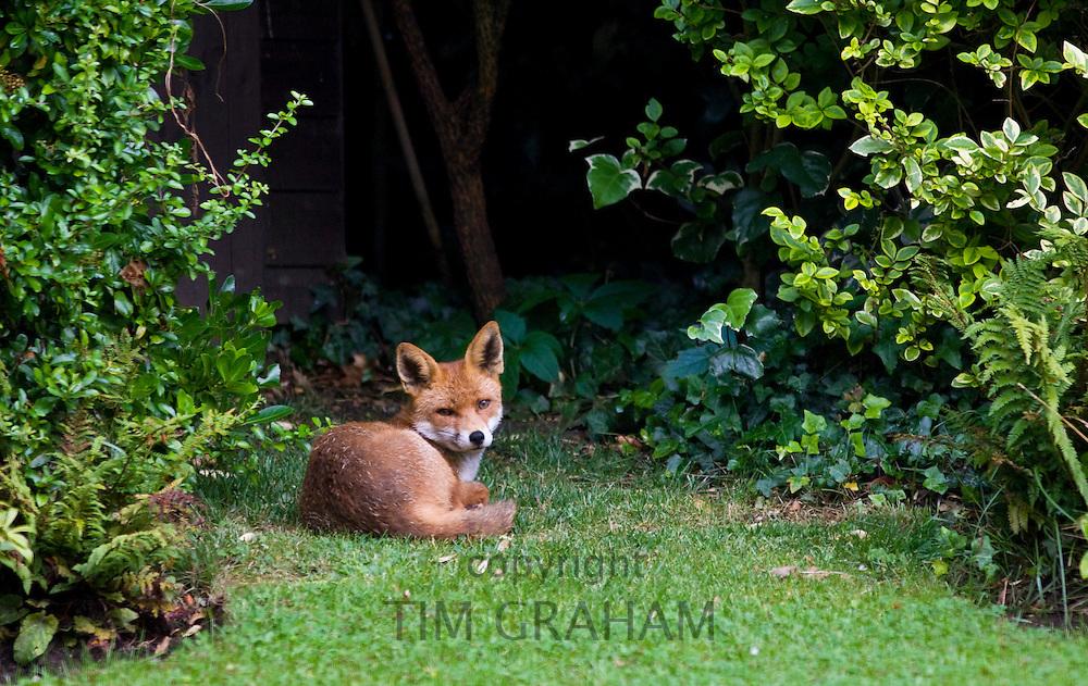 Urban male fox lies confidently in London town garden, Hampstead, London, England