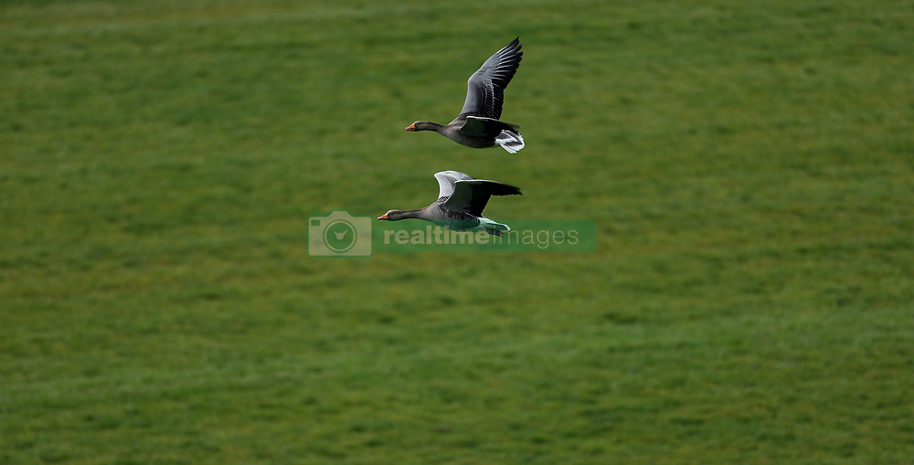 A pair of Greater white-fronted goose's flying along the course during Royal Ascot Trials Day at Ascot Racecourse.