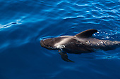 Whale watching, Canary Islands
