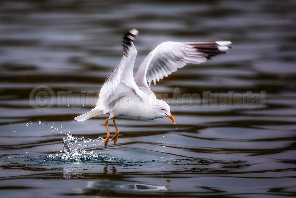 Seagull in flight | Måke i flukt