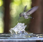 A hummingbird tries to beat the heat at the end of the day by sticking it's tongue deep into a gurgling bird feeder fountain in North Seattle as temperatures soar across the region. (Steve Ringman / The Seattle Times)