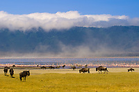 Blue Wildebeest (Gnu) and zebra with Lake Magadi in background shrouded in mist, Ngorongoro Crater, Ngorongoro Conservation Area, Tanzania