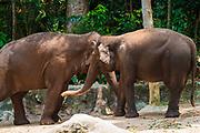 Asian elephants playing at the Singapore Zoo, Singapore, Republic of Singapore