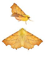 70.234 (1913)<br /> Canary-shouldered Thorn - Ennomos alniaria