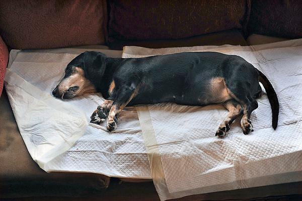 Nederland, Ubbergen, 2-12-2011Onze tekkel Pietje heeft vandaag thuis van de dierenarts twee spuitjes gekregen. De eerste als sedatie, verdoving en de tweede in het hart. De hond is ruim 14 jaar geworden, maar had sinds een paar weken verlammingsverschijnselen in het achterlijf, vermoedelijk als beschadiging van de rug hetgeen vaak bij dit ras voorkomt. Deze vet kwam aan huis om het sterven in gang te zetten, wat voor de hond een stuk minder stressvol is.FOTO: FLIP FRANSSEN/ HOLLANDSE HOOGTE