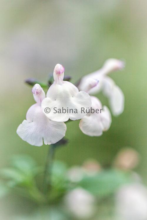 Salvia 'Trelissick' - sage