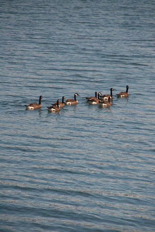 Canadian Geese (Branta canadensis) at Garrison Bay, San Juan Island, Washington, US