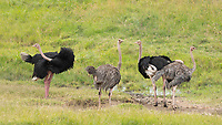 Two male and two female Common Ostriches, Struthio camelus, in Maasai Mara National Reserve, Kenya