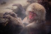 A portrait of a sleeping snow monkey (Macaca fuscata) sitting in a steamy hot spring, Jigokudani, Yamanouchi, Japan