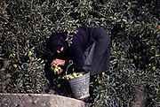 Surrounded by the branches of trees growing on fertile soil of a high plateau in rural Crete, a villager gathers apples into a bucket, on 13th April 1979, Lasithi Plateau, Crete, Greece.
