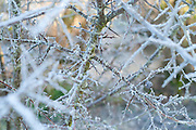 Frosty thorn