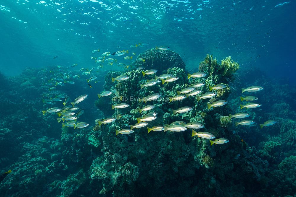 Schooling Fish - Red Sea