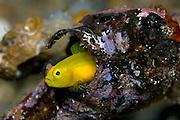 Yellow Goby (Lubricogobius exiguus) in Lembeh Strait, Indonesia/