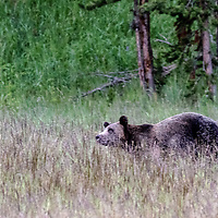 Face Off! Bear running for elk dinner. Yellowstone National Park, Wyoming.