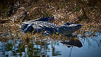 Alligator warming in the morning sun. Merritt Island National Wildlife Refuge. Image taken with a Nikon D810a Camera and 500 mm f/4 VR lens