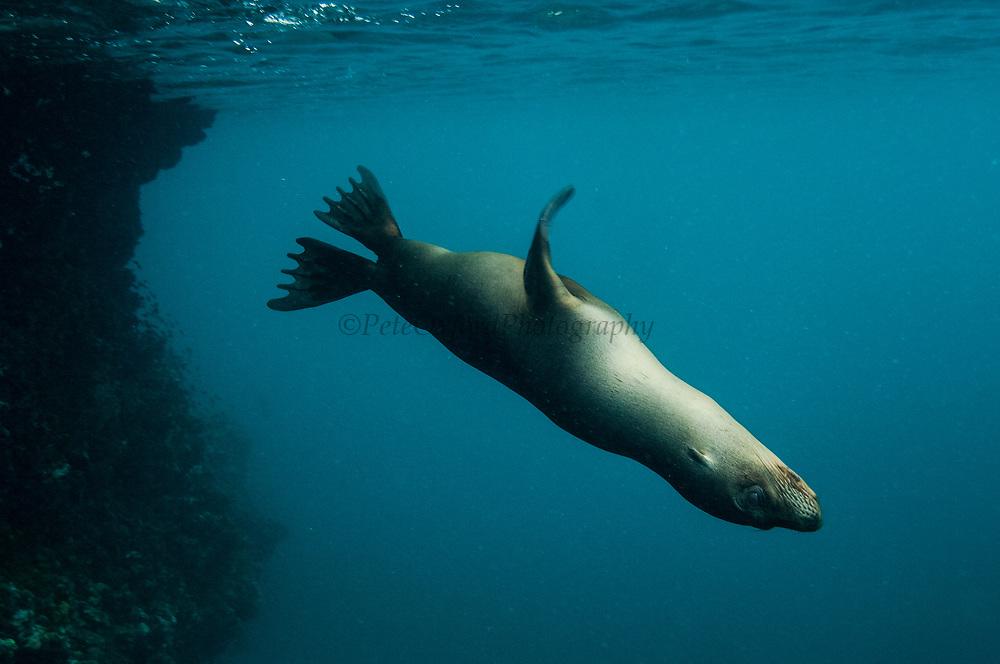 Galapagos sealion (Zalophus wollebaeki) underwater<br /> Española or Hood Island, Galapagos Islands<br /> ECUADOR.  South America<br /> There are approximately 16,000 individuals in the archipelago and numbers are increasing. Males are much larger than females, weighing up to 250kg compared with 100kg in the females. They spend a large amount of time hauled up on sandy beaches. The males establish territories which are savegely defended from rivals. Young bachelors and unsuccessful bulls then leave the area and establish bachelor colonies on the outskirts of female haul-outs. Reproduction occures mainly in the Garua season between July and December and will vary from Island to Island. Sealions are highly thigmotactic (seeking body contact) and loaf around in piles on the beaches. They are extremely efficient hunters, preferring sardines to other fish, so spend a considerable time resting or at play. Underwater they are well streamlined, lithe and acrobatic.