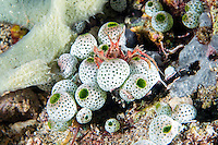Decorator Crab perched on Tunicates<br /> <br /> Shot in Indonesia