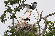 White stork (Ciconia ciconia) fledgling testing its wings in nest.  Sussex, UK.