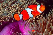 false clown anemonefish or clownfish, Amphiprion ocellaris, in magnificent sea anemone, Heteractis magnifica, Similan Islands, Thailand (Indian Ocean)