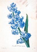 19th-century hand painted Engraving illustration of Hyacinth flowers, by Pierre-Joseph Redoute. Published in Choix Des Plus Belles Fleurs, Paris (1827). by Redouté, Pierre Joseph, 1759-1840.; Chapuis, Jean Baptiste.; Ernest Panckoucke.; Langois, Dr.; Bessin, R.; Victor, fl. ca. 1820-1850.