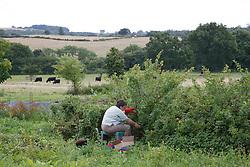 Trinity Organic Farm, Nottinghamshire - volunteer pruning fruit bushes