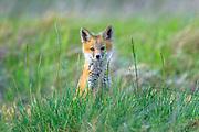 Red Fox Kit near Helena, Montana.