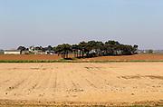Pine trees forming windbreak in fields at Alderton, Suffolk, England, UK