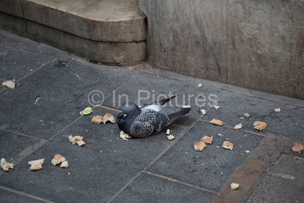 Pigeon who appears to be either too tired or full to continue eating sits surrounded by large chunks of bread in London, England, United Kingdom.
