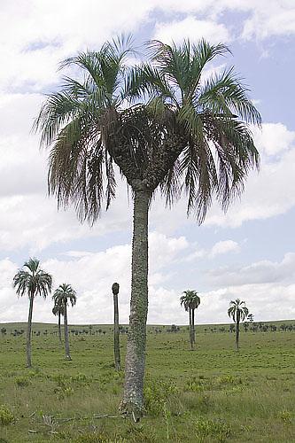South America, Uruguay, Rocha, two-headed palm tree