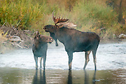 Moose courtship in the morning steam of a small creek in Grand Teton National Park.
