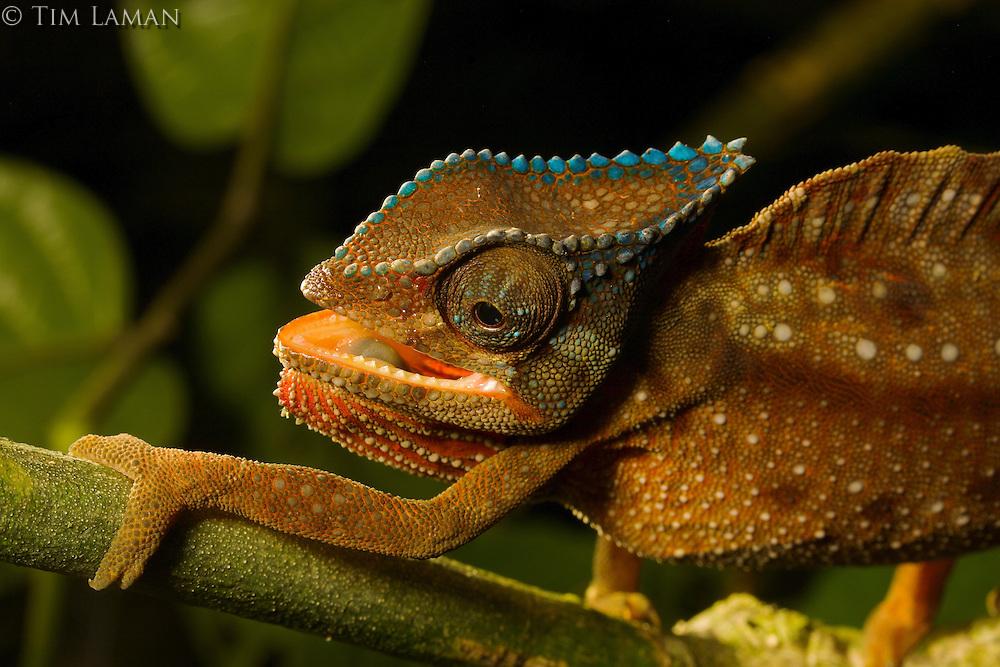 A close-up of a Crested Chameleon (Chamaeleo cristatus).