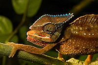 A close-up of a Crested Chameleon (Chamaeleo cristatus).