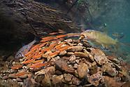Redtail Chub, Underwater
