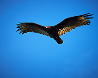 Turtkey Vulture soaring over Big Cypress Swamp. Image taken with a Nikon Df camera and 400 mm f2.8 lens (ISO 800, 400 mm, f/8, 1/1600 sec).