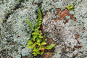 Ferns and lichens on rock<br />Parc national du Mont-Tremblant (not a Canadian national park)<br />Quebec<br />Canada