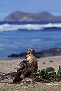 juvenile Galapagos hawk, Buteo galapagoensis, James or Santiago Island, Galapagos Islands, Ecuador, ( Eastern Pacific )