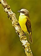 Gray-capped Flycatcher, myiozetetes granadensis, Cloud Forest, Monteverde, Costa Rica