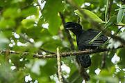 Long-wattled umbrellabird (Cephalopterus penduliger)<br /> Western slopes of Andes<br /> Andes<br /> ECUADOR, South America<br /> ENDEMIC<br /> Habitat & Range: endemic to the western slopes of Chocó in Colombia and Ecuador
