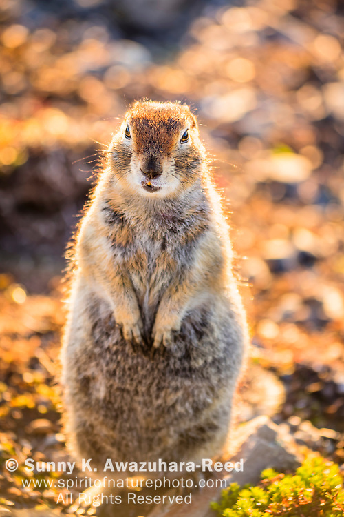 Close up of Arctic Ground Squirrel standing on its hind feet, Kesugi Ridge, Denali State Park, Southcentral Alaska, Summer. Vertical image.