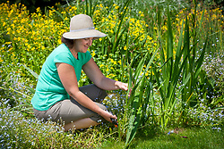 Removing iris seedpods after they have finished flowering.
