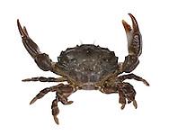 Risso's Crab - Xantho pilipes