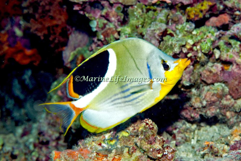 Saddled Butterflyfish inhabit reefs. Picture taken Banda, Indoneisa.