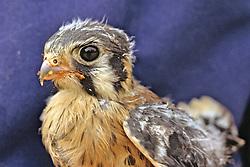 Sparrow Hawk Being Rehabilitated